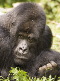 Silverback Mountain Gorilla in Parc National des Volcans  Rwanda