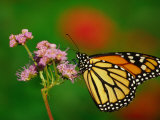Monarch Butterfly at the Botanical Gardens in Zilker Park  Austin  Texas