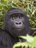 Silverback Mountain Gorilla in Parc National des Volcans  Volcans National Park  Ruhengeri  Rwanda