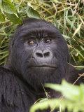 Silverback Mountain Gorilla in Parc National des Volcans  Volcans National Park  Ruhengeri  Rwanda
