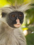 Kirk&#39;s Red Colobus Monkey  Jozani Forest  Zanzibar South  Tanzania