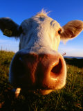 Close-Up of Cow&#39;s Nose at Glumslovs Backar  Landskrona  Skane  Sweden