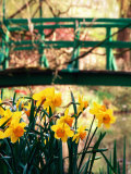 Daffodils with Bridge over Pond in Background  Garden of Claude Monet  Giverny  France