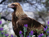 Profile of Wedge-Tailed Eagle  Australia