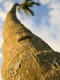 Trunk of Coconut Tree  Maui  Hawaii