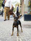 Tethered Dog Outside Shop  Naples  Campania  Italy