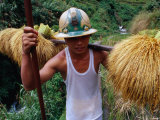 Combulo Villager Bringing Home the Palayi  Banaue  Cagayan Valley  Philippines
