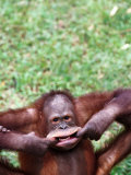 Orangutan Pulling a Face at the Matang Wildlife Centre  Kuching  Sarawak  Malaysia