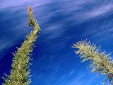 Boojum Tree Or Cirio  San Ignacio  Baja California Sur  Mexico
