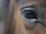 Detail of Horses Face near Lough Ennell  Ireland
