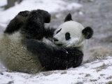 Giant Panda Cub Playing in Snow  Wolong Ziran Baohuqu  Sichuan  China
