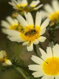 Bee Sitting on Wildflower  Naxos  Southern Aegean  Greece