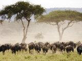 Topi  Serengeti National Park  Shinyanga  Tanzania