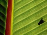 Silhouette of Fly on Banana Leaf  Tzimbazaza Zoo  Antananarivo  Antananarivo  Madagascar