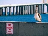 Brown Pelican in Front of Sunshine Skyway Bridge  Tampa Bay  Tampa  Florida