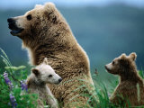 Brown Bear Mother and Spring Cubs  Hallo Bay  Alaska