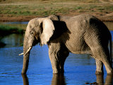 African Elephant Drinking at Waterhole  Serengeti National Park  Arusha  Tanzania