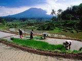 Villagers Work at Transplanting Seedlings  Iseh  Bali  Indonesia
