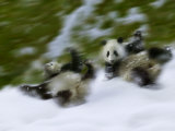 Two Giant Panda Cubs Rolling on Snow  Wolong Ziran Baohuqu  Sichuan  China
