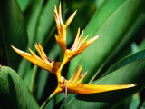 Bird of Paradise Flower  Almond Beach Club  Spa  St James