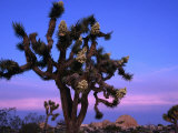 Wildflowers  Joshua Trees  Joshua Tree National Park  California