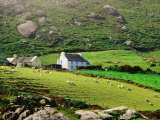 Sheep Grazing Near Farmhouses  Munster  Ireland