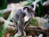 Koala  Hartley's Creek Crocodile Farm  Cairns  Queensland  Australia