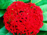 Ixora Flower  Flower Forest Richmond  St Joseph