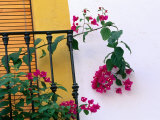 Bougainvillea Flower on Balcony  Cordoba  Andalucia  Spain