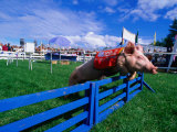 All Alaskan Racing Pig Jumping Fence in Race at Alaska State Fair  Palmer  Alaska