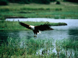 African Fish Eagle Coming in to Land  South Africa