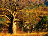 Boab Trees on Victoria Highway  Keep River National Park  Northern Territory  Australia