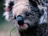 Koala with Transmitter  Phillip Island  Victoria  Australia