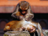 Monkeys at the Temple Complex  Pashupatinath  Bagmati  Nepal