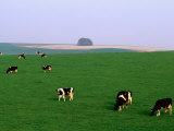 Cows Grazing on Green Fields  Avebury  Wiltshire  England