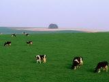 Cows Grazing on Green Fields  Avebury  Wiltshire  England