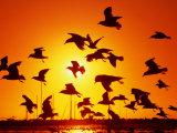 Seagulls at St Kilda  Sunset  Melbourne  Victoria  Australia