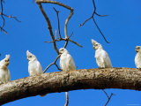 Corella Parrots on Branch  Kakadu National Park  Northern Territory  Australia