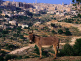 Donkey with the City of Bethlehem in the Background  Israel