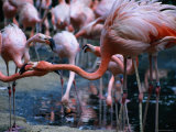 Greater Flamingo at the Singapore Zoological Gardens  Singapore
