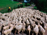 Droving Sheep along Road  Omeo  Victoria  Australia