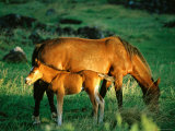 Mare and Foal  Easter Island  Valparaiso  Chile