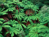 Evergreen Tree Ferns  Victoria  Australia