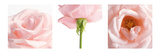 Pink Rose Triptych