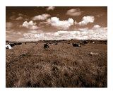 Cow Field 1