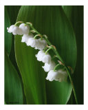 Lilly of the Valley III