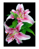 Pale Pink Stargazer Lily