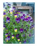 LeAnns Violets