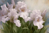 White Iris Elegance I