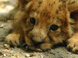 Lion Cub  Budapest  Hungary